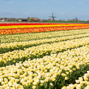 Fields with white, red and yellow tulips in the Netherlands. And the Lisserpoelmolen from 1676