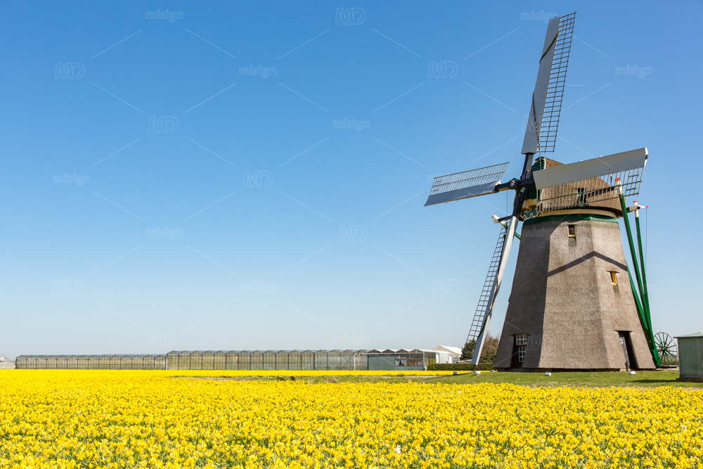 A windmill in a field of yellow daffodils on a bright blue sky near the village Noordwijkerhout in the Netherlands.