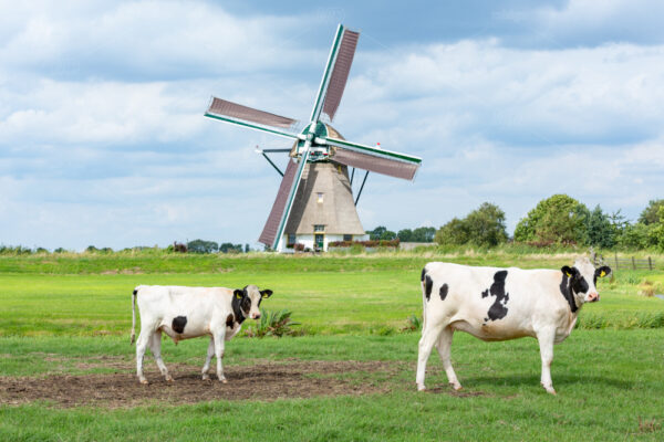 Cows in front of the historical Akkersloot windmill in Oud Ade. Build in 1793 in the village Kaag en Braassem. in the Netherlands.