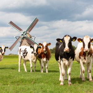 5 staring cows in a grass pasture in front of a historical windmill in Oud Ade the Netherlands.