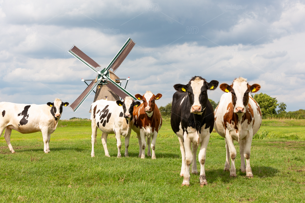 Cows in front of a historical windmill in Oud Ade