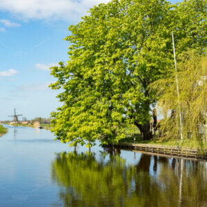 A big tree and windmill on the water in the green feelds of Rijpwetering in The Netherlands.