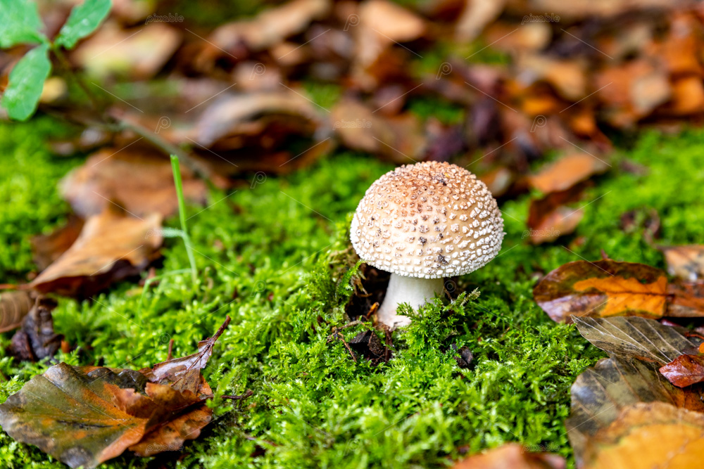Panteramaniet mushroom in the fall. On the Huys te Warmont estate in the South-Holland village of Warmond in the Netherlands.
