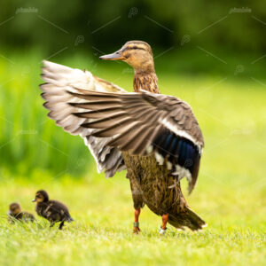 A duck waving her wings with three babies walking on bright green grass in the Amsterdam Vondelpark in the Netherlands.