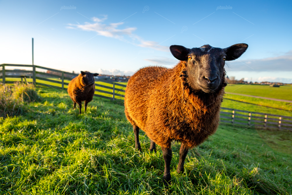 Two curious brown sheep in the grass on a dike in the South Holland Hellegatspolder. This polder is located in the municipality of Lisse in the Netherlands.