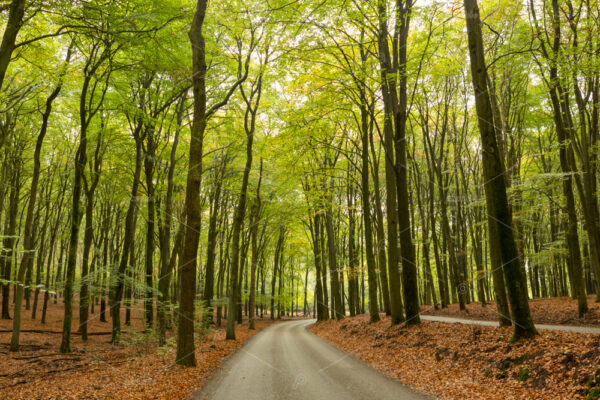Road through a dense green forest in the fall near the Asselsche Heide in Hoog Soeren in the Province of Gelderland in the Netherlands.