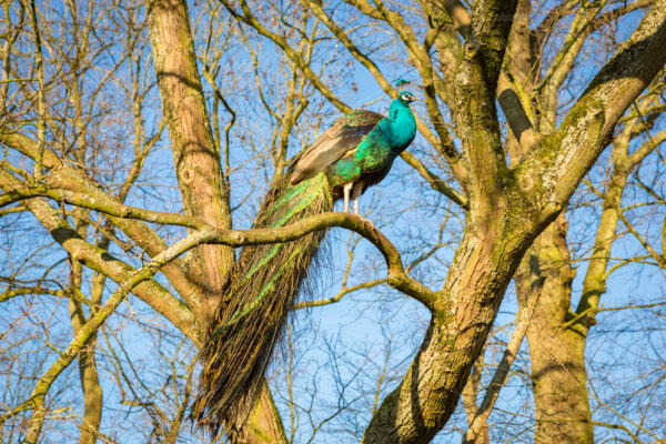 A peacock sits on a branch in Rusthoff Park in the south-holland village of Sassenheim in the Netherlands.