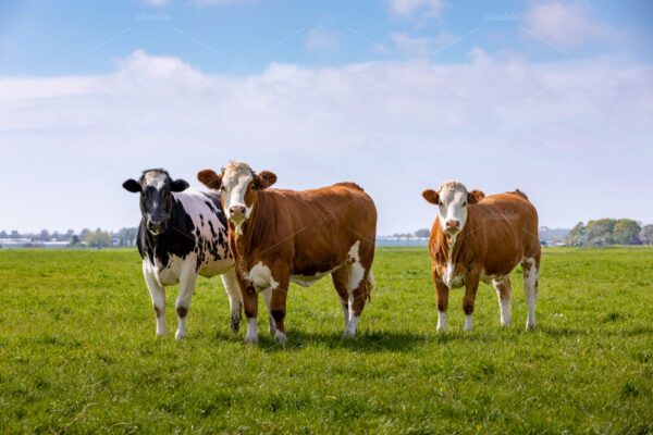 3 curious cows in a green grass pasture in Sassenheim the Netherlands.